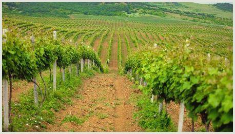 Агротехнические мероприятия в виноградниках